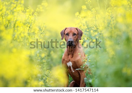 Portrait of a dog among yellow flowers. Rhodesian ridgeback #1417547114