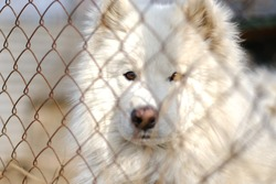portrait of a dog behind a net in an aviary. a large white pet dog is seen living on the street, surrounded by an iron mesh fence