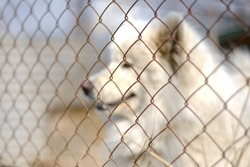 portrait of a dog behind a net in an aviary. a large white pet dog is seen living on the street, surrounded by an iron mesh fence. looks to the left