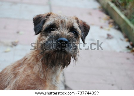 Portrait of a dog, border terrier breed  #737744059