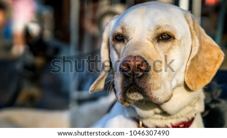 Portrait of a Dog. Close  up of cute Labrador waiting peacefully next to their owner.