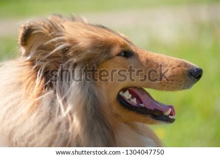 portrait of a dog Collie #1304047750