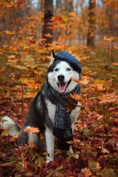 Portrait of a dog in cap and scarf on autumn background. Siberian Husky black and white colour outdoors in autumn park, tongue out. A pedigreed purebred dog
