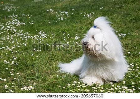 Portrait of a dog: Original Coton de Tulear. Funny pet with long white hair.