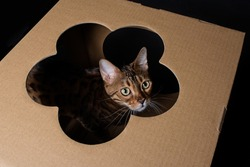 Portrait of a domestic Bengal cat, The kitten sits in a cardboard box and looks through a hole in the form of a flower