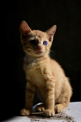 Portrait of a domestic cat kitten with blue eyes straight closeup isolated on black background