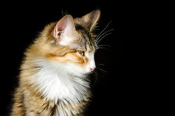 Portrait of a domestic mongrel cat on a black background.