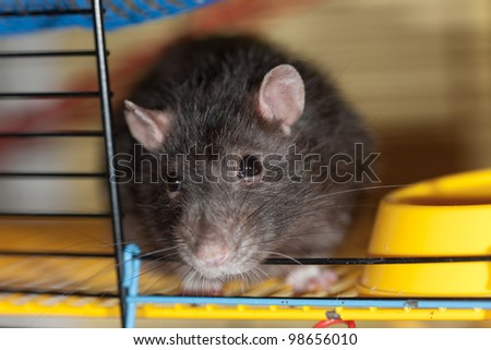 portrait of a domestic rat close up