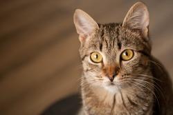 Portrait of a domestic shorthair kitten