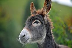 portrait of a donkey,donkey head