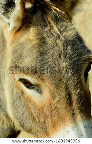 Portrait of a donkey. Free-range farming, sustainable farming.