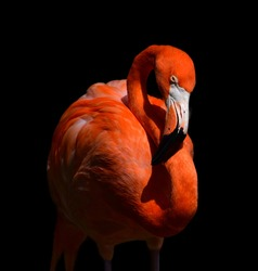 Portrait of a dormant pink flamingo on a contrasting black background