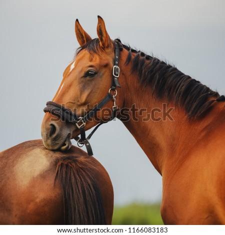 Portrait of a dozing bay horse
