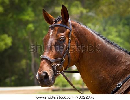 Portrait of a dressage horse