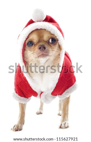 portrait of a dressed chihuahua  in Christmas in front of white background