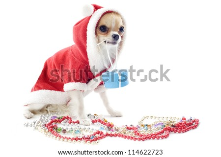 portrait of a dressed chihuahua with jewelry in Christmas in front of white background
