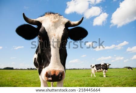 Portrait of a Dutch cow