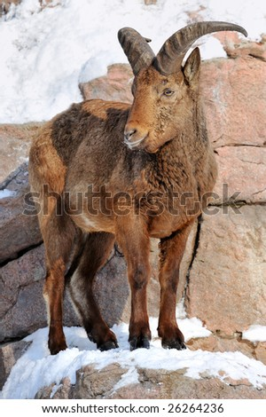 portrait of a east caucasian tur on a ledge of the rock covered by a snow
