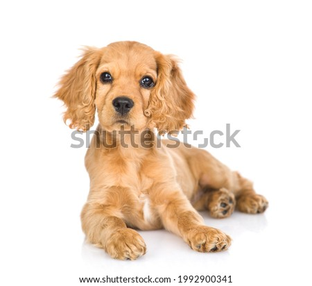 Portrait of a English cocker spaniel puppy lying in front view. isolated on white background
