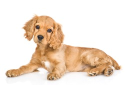 Portrait of a English cocker spaniel puppy lying in side view and tilting head. isolated on white background