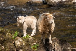 Portrait of a ewe and a lamb standing on a rock on a riverbank