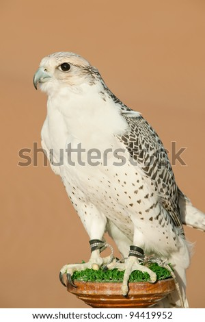 Portrait of a falcon or bird of prey in desert