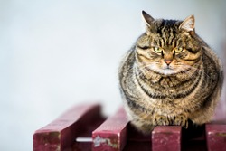 Portrait of a fat striped cat with green eyes
