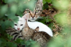Portrait of a feeding feral cat with two little kittens through greenery. Mom cat looks anxiously at the camera ready to protect her litter. Outdoors, selective focus.