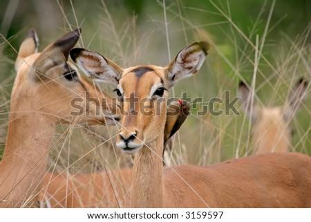 Portrait of a female impala (Aepyceros melampus) with oxpecker bird, Kruger National Park, South Africa