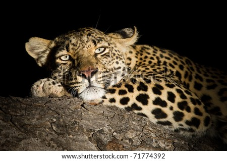 Portrait of a female Leopard at night lit by spotlight