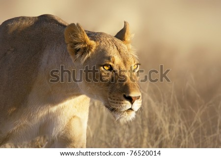 Portrait of a female lion in the grass of the Kgalagadi desert