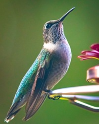 Portrait of a female or immature Ruby-throated Hummingbird (Archilochus colubris) perched on a feeder with bokeh background.