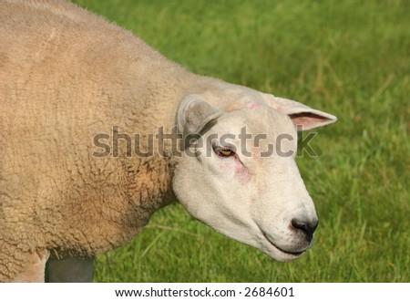 portrait of a female sheep