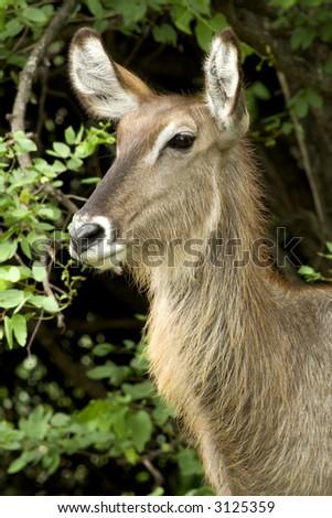 Portrait of a female waterbuck