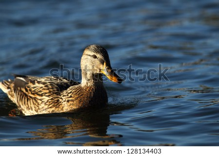 Portrait of a females of duck on the water-4