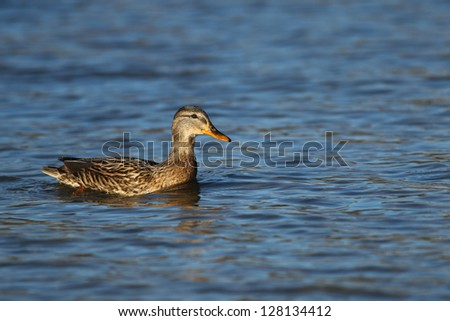 Portrait of a females of duck on the water-2