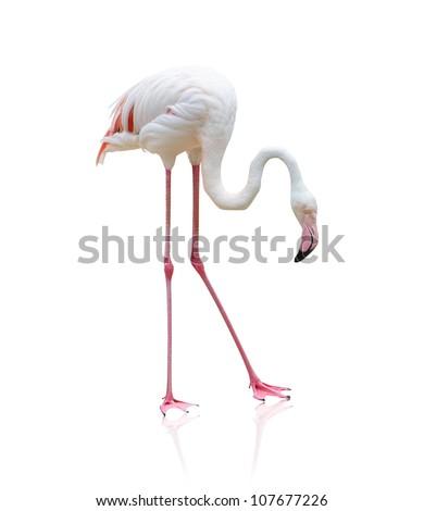 Portrait Of A Flamingo On White Background