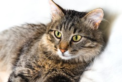 Portrait of a fluffy, striped cat. Cat in a veterinary clinic for pets. Animal looks at the camera. Feline health background.