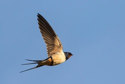 Portrait of a flying barn swallow (rustica hirundo) in front of a blue background