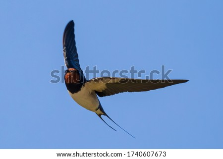 Portrait of a flying barn swallow (rustica hirundo) in front of a blue background Foto stock ©