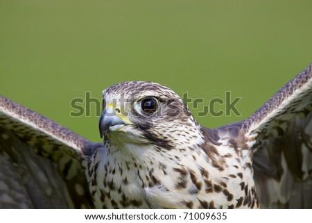 portrait of a flying falcon
