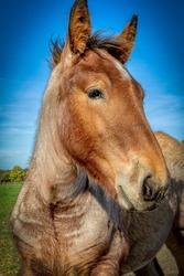 Portrait of a foal of a typical Belgian trekpaard.