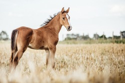 Portrait of a foal out on a field in the summer