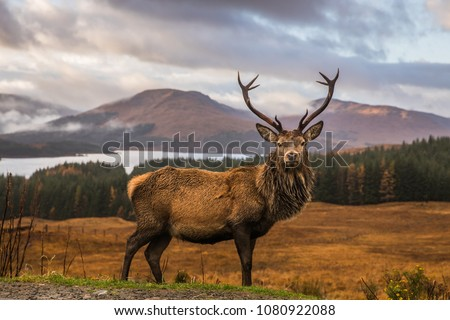 Portrait of a free and wild Scottish stag, as captured in his natural habitat in the Highlands near Bridge of Orchy #1080922088