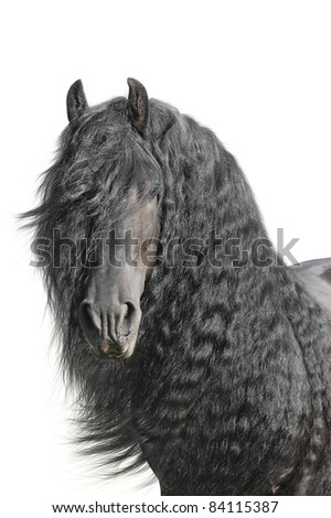 Stock Photo Portrait of a friesian horse (stallion) on a white background