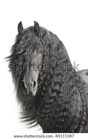 Stock Photo Portrait of a friesian horse (stallion) on a white background