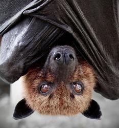 Portrait of a fruitbat / flying fox