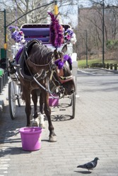 Portrait of a funny cute brown horse with purple feather duster and a white romantic carriage in his back, looking at a pigeon passing by in front of him, Central Park, Manhattan, New York city, Usa.
