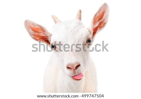 Portrait of a funny goat showing tongue isolated on white background #499747504