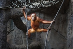 Portrait of a funny kid of orangutan hanging on a rope